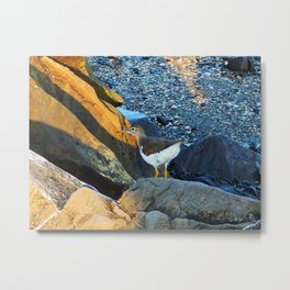 Greater Yellow Legs on the rocks Metal Print