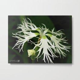 Dianthus named Superbus White Metal Print