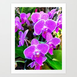 Purple Orchid Art Print