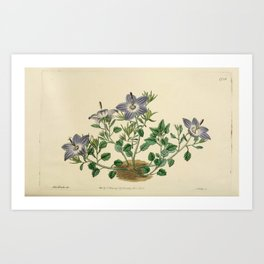 Flower 1738 campanula fragilis hirsuta Hairy leaved brittle Bell flower18 Art Print