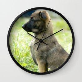 Cute Malinoi shepherd 8 weeks old Wall Clock