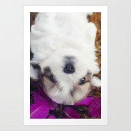 Shitzu Dog Art Print