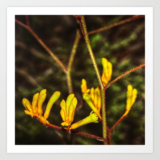 Yellow Kangaroo Paw flower against a blurred background Art Print