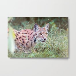 Lynx in the grass Metal Print