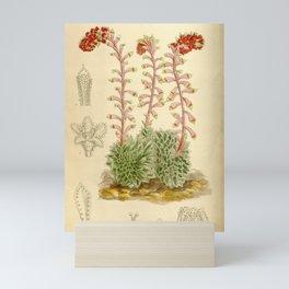 Flower 8308 saxifraga grisebachii Mini Art Print