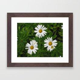 Daisies pic 004 Framed Art Print