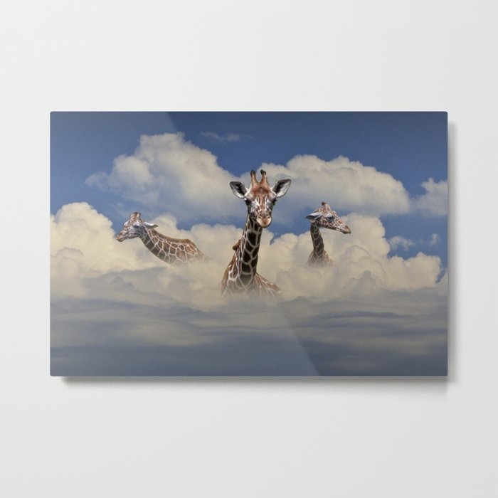 Heads above the Clouds with 3 Giraffes Metal Print