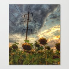 field of faded sunflowers  Canvas Print