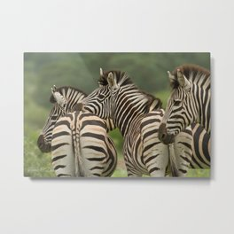Zebra Trio Metal Print
