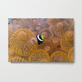 Clownfish in Anemone Metal Print