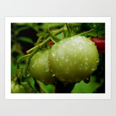 Rainy day tomatoes Art Print