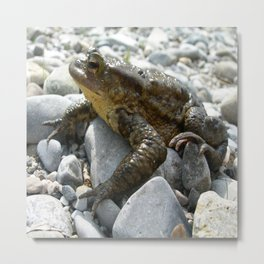 Bufo Bufo Toad Lounging On Stones Metal Print
