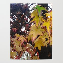 California Leaves In Fall Poster