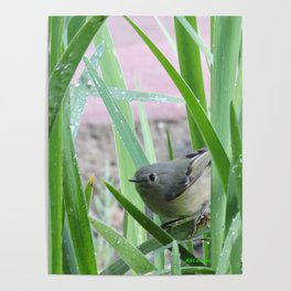 Kinglet Approaching Poster