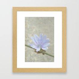 cichorium  Framed Art Print