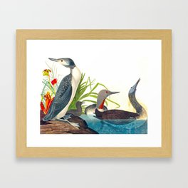 Red-Throated Diver Duck Framed Art Print