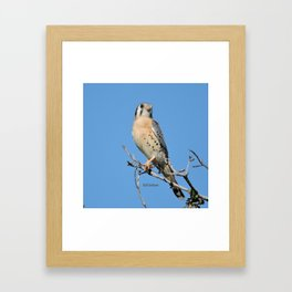 A Kestrel Says Hello Framed Art Print