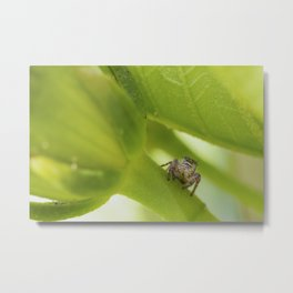 A Jumping Spider (Salticidae) hunts in the garden Metal Print