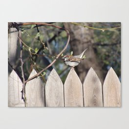 Sparrow in Early Spring Canvas Print