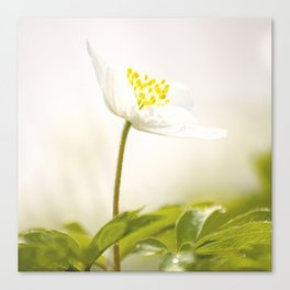Wood Anemone Blooming in Forest Canvas Print