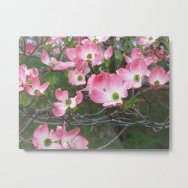 Pink Dogwood Blossoms  Metal Print