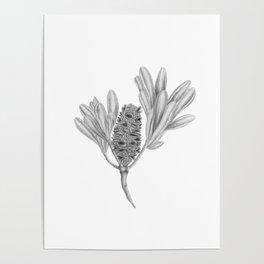 Banksia Integrifolia Botanical Illustration Poster