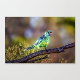 Mallee Ringneck Parrot Canvas Print