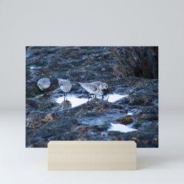 Sandpipers Birds feeding Rock Tide Pool Seashore Mini Art Print