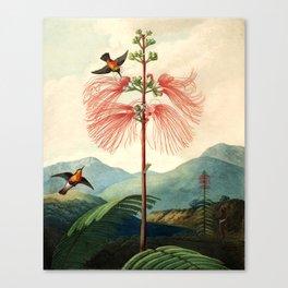 Large flowering sensitive plant. Canvas Print
