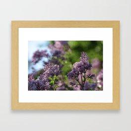 Lilacs in Bloom Framed Art Print