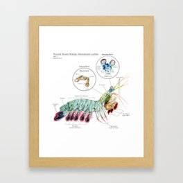 O. scyllarus (Peacock Mantis Shrimp) Framed Art Print
