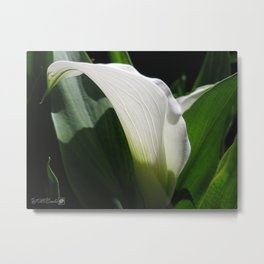 Zantedeschia named Crystal Blush Metal Print