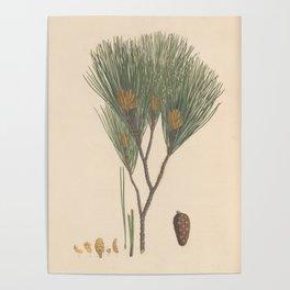 Botanical Pine Poster