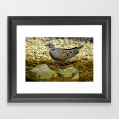 European Turtle Dove (Streptopelia turtur) Framed Art Print
