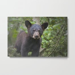 Black Bear Cub in Northern Minnesota Photograph Metal Print