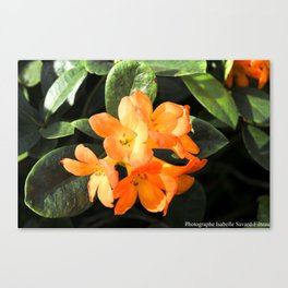 tropicals flowers Canvas Print