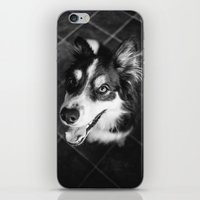 border collie iPhone & iPod Skins featuring Tri-coloured border collie. by liamgrantfoto