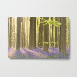 Blooming bluebell forest of Hallerbos in Belgium in morning sunlight Metal Print