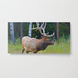 Bull Elk shows off his rack in Jasper National Park Metal Print