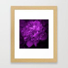 Peony In Ultra Violet Color #decor #society6 #buyart Framed Art Print