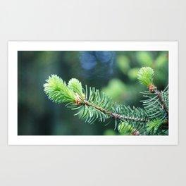 Spruce branch in spring. Art Print