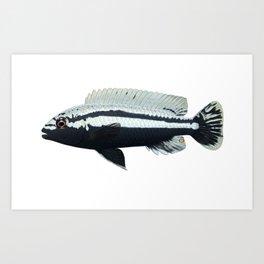 Malawi cichlids Melanochromis auratus male Art Print