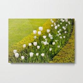 White tulips in buxus arrangement Metal Print