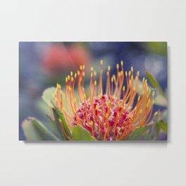 Tropical Sunburst - Leucospermum Pincushion Protea Flower Metal Print