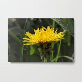 Yellow Dandelion Metal Print