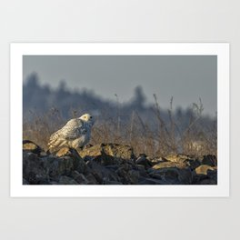 The Watchful Eye of a Snowy Beauty - cropped Art Print