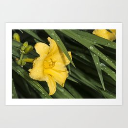 Yellow Daylily and Leaves Art Print