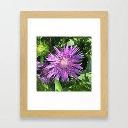 Purple Aster Framed Art Print