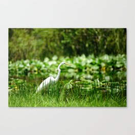 Great Egret in a Green Field Canvas Print