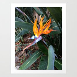 Let Your True Colors Show - Bird of Paradise Art Print